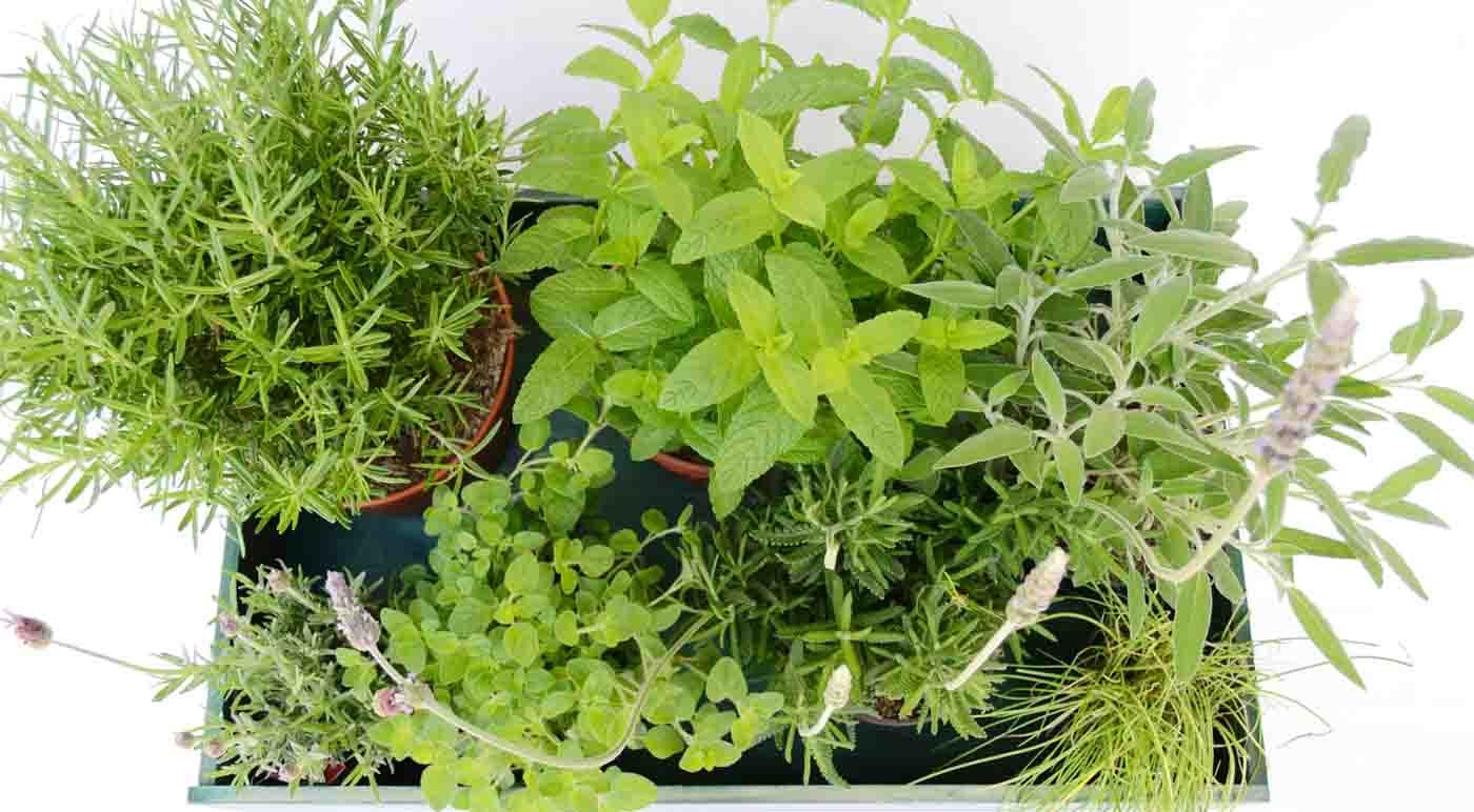como conservar hierbas aromaticas